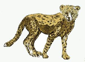 Cheetah Cub, Masai Mara