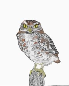 Burrowing_Owl 3_(Athene_cunicularia)
