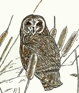 short eared owl 2